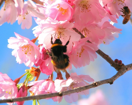 stiati_ca_albina-pe-floare