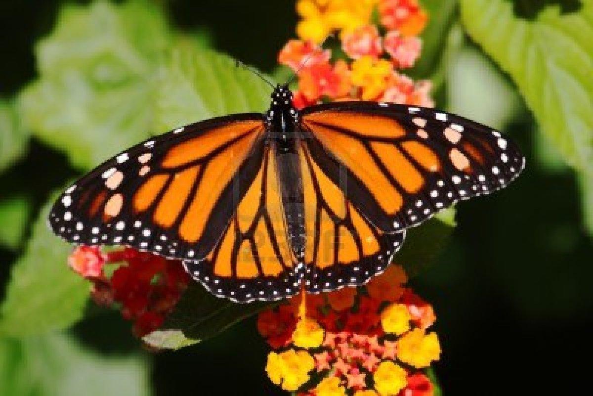 stiati_ca_fluturele_monarh