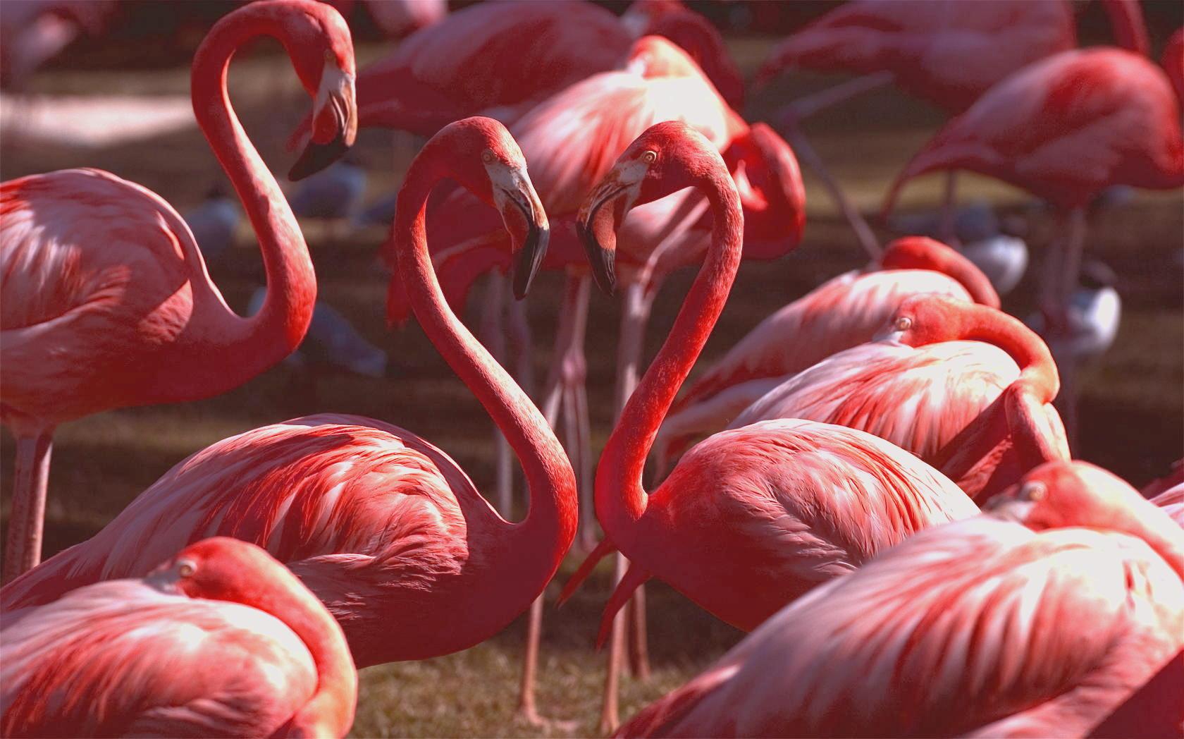 stiati_ca_pasarea_flamingo