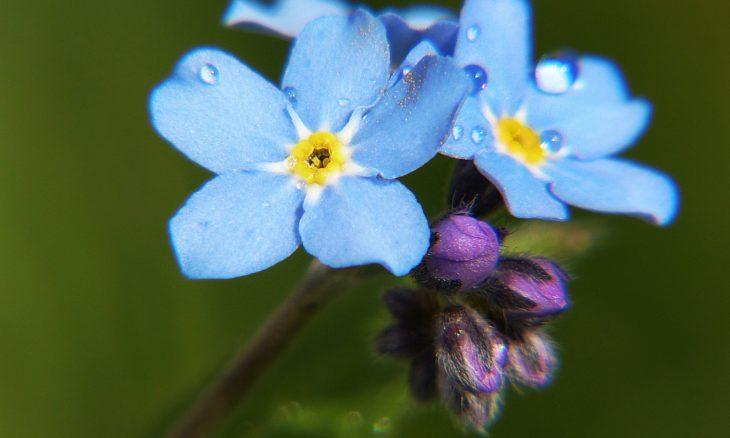 floare-de-nu-ma-uita